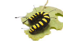 Caterpillar. Eating the leaf Stock Images