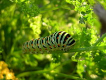 Caterpillar Imagen de archivo libre de regalías