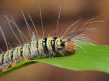 Caterpillar Obraz Royalty Free