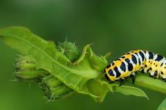 Caterpillar images libres de droits