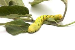 Caterpillar aan vlinder Stock Afbeeldingen