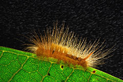 Caterpillar against Royalty Free Stock Images