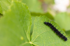 Caterpillar Aglais io europejski pawi motyl na wi Obraz Royalty Free