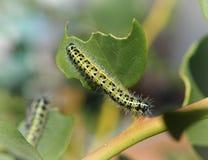 Caterpillar amarillo Fotografía de archivo libre de regalías