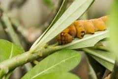 Caterpillar amarillo en la hoja verde Foto de archivo libre de regalías