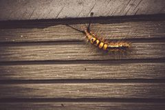 Caterpillar animal insect bug in nature walking on old wood wall of garden background.  royalty free stock photos