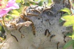 Caterpillar annida Fotografia Stock Libera da Diritti