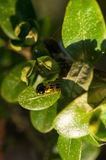 Caterpillar as a pest eating buxus leaves Stock Photography