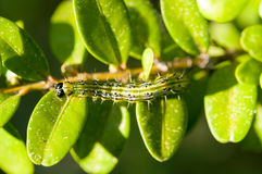Caterpillar as a pest eating buxus leaves Stock Image