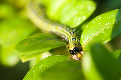 Caterpillar as a pest eating buxus leaves Royalty Free Stock Images