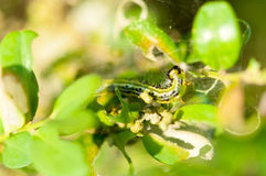 Caterpillar as a pest eating buxus leaves Royalty Free Stock Photo