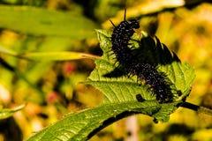 Caterpillar auf einem Blatt Lizenzfreies Stockfoto