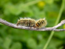 Caterpillar auf einem Stock stockfoto