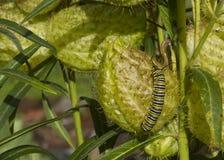 Caterpillar auf einer Frucht Stockfotos