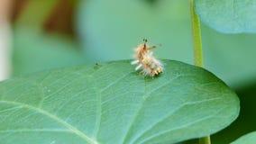 Caterpillar auf grüne Blätter stock video