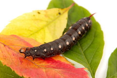 Caterpillar In Autumn Colors Stock Photography