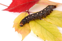 Caterpillar In Autumn Colors Stock Photo