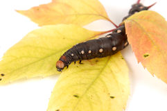 Caterpillar In Autumn Colors Stock Image