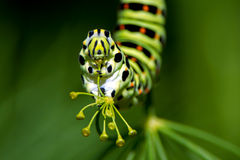 Caterpillar av den gamla världen Swallowtail (Papilio machaon), en cl royaltyfria foton