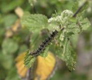 Caterpillar av den lilla Tortioseshell fjärilen Arkivbilder
