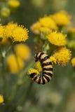 Caterpillar av en cinnabarmal Fotografering för Bildbyråer