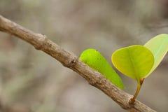 Caterpillar av en jätte- silk mal (Polyphemus) royaltyfri fotografi