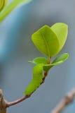 Caterpillar av en jätte- silk mal (Polyphemus) fotografering för bildbyråer