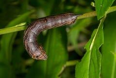 Caterpillar av hökmalen Royaltyfria Bilder