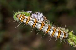 Caterpillar av heliotropmalen Fotografering för Bildbyråer