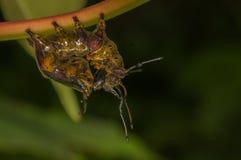 Caterpillar av notodontidaemalen Arkivbilder