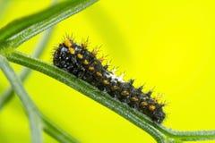 Caterpillar av svalasvansfjärilen Fotografering för Bildbyråer