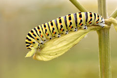 Caterpillar av swallowtail arkivfoto