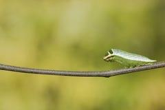 Caterpillar av swordtailfjärilen för fem stång (antiphatespompiliu arkivbild