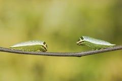 Caterpillar av swordtailfjärilen för fem stång (antiphatespompiliusen) royaltyfria foton