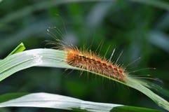 Caterpillar av zigensk mal 1 Royaltyfri Fotografi