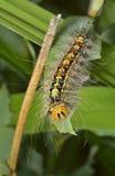 Caterpillar av zigensk mal 4 Arkivfoton