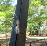 Caterpillar avec des oeufs de guêpe photos stock