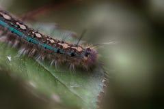 Caterpillar azul em uma folha Imagem de Stock Royalty Free