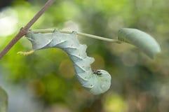 Caterpillar beklimt op de tak Royalty-vrije Stock Foto's