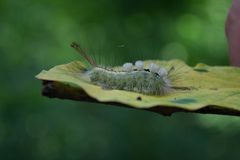 Caterpillar, Biały Oceniony Tussock ćma na liściu zdjęcia royalty free