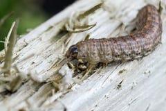 Caterpillar bij het houten decking Royalty-vrije Stock Foto
