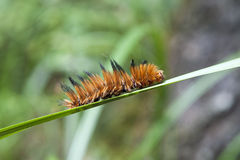 Caterpillar on Blade of Grass Royalty Free Stock Image