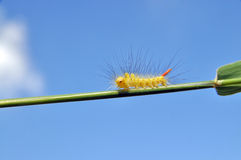 Caterpillar on blade of grass Stock Image
