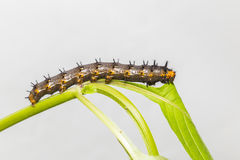 Caterpillar of blue pansy butterfly  Junonia orithya Linnaeus Royalty Free Stock Photography