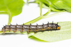 Caterpillar of blue pansy butterfly  Junonia orithya Linnaeus Royalty Free Stock Image