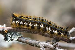 Caterpillar on a branch Stock Image