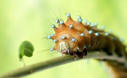 Caterpillar on branch 2 Stock Images
