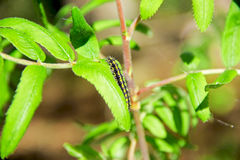 Caterpillar on a branch Stock Photography