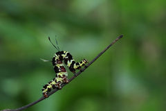 Caterpillar on the branch. Stock Photos