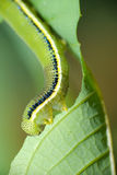 Caterpillar, breakfast time. Taken with Nikon 70-300mm VR attached Raynox DCR 250 Stock Photos